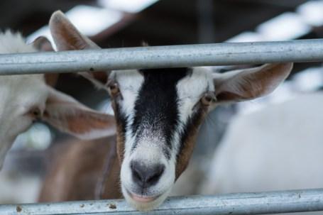 Une chèvre de chez les Bentham - En savoir plus : http://paysansdavenir.com/le-coin-des-innovations-chevres-au-vert/