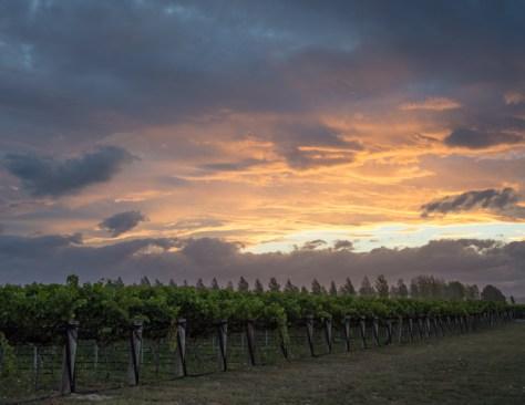 Bienvenue chez Alison Brook, propriétaire d'un vignoble de la région de Bleinheim ! - En savoir plus : http://paysansdavenir.com/portrait-dagricultrice-alison-brook-vignes-et-cookies/