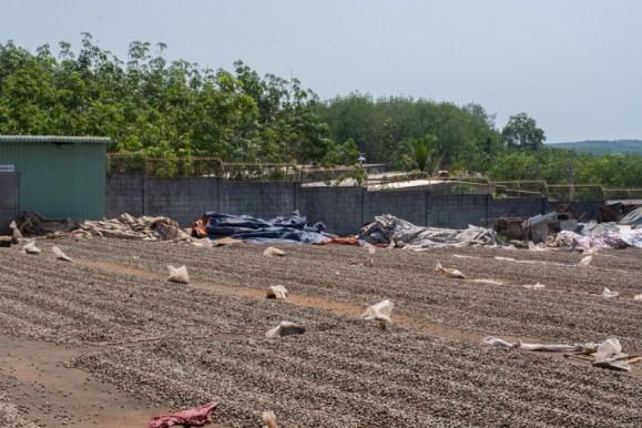 Séchage des noix de cajou :  trois jours en plein soleil avec moins de 10% d'humidité - http://paysansdavenir.com/plongee-au-coeur-de-la-filiere-noix-de-cajou-de-binh-phuoc-vietnam/