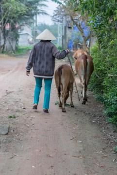 En route pour allé paître - DUONG THI DUOC, éleveuse de bovins près de Dong Hoi http://paysansdavenir.com/portrait-dagricultrice-duong-thi-duoc-eleveuse-de-bovins/