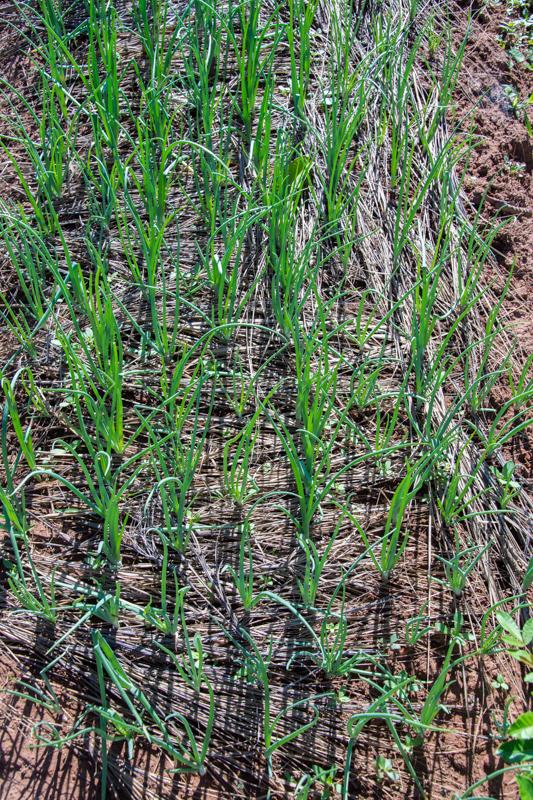 Durant ses formations, François a notamment appris que couvrir le sol des cultures de paille de riz permettait de limiter l'évaporation de l'eau!