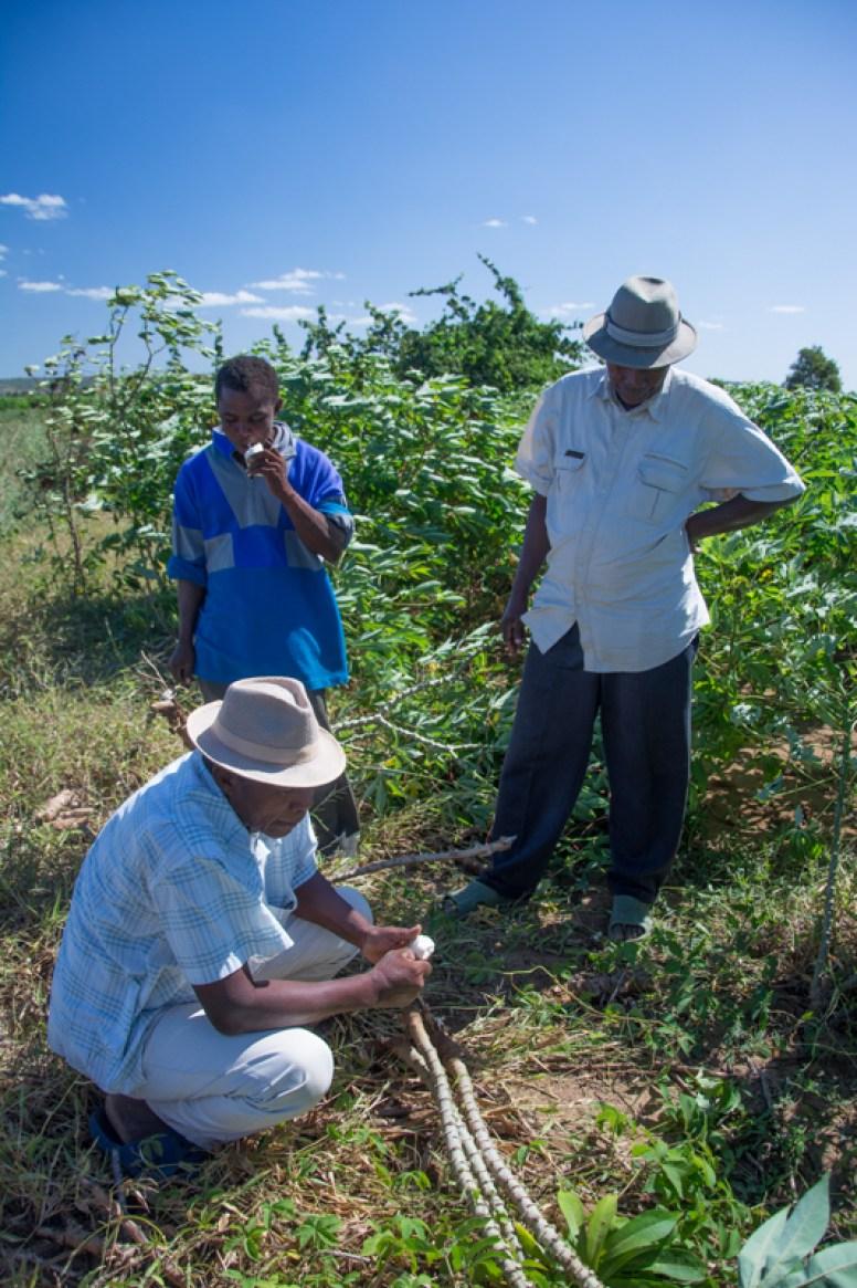 Les paysans en train de déguster du manioc cru face aux tiges qui serviront de boutures pour l'année prochaine