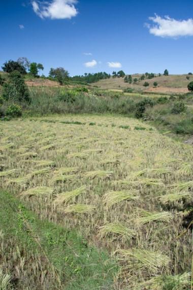 La récolte de riz: étape 1: coupe des tiges