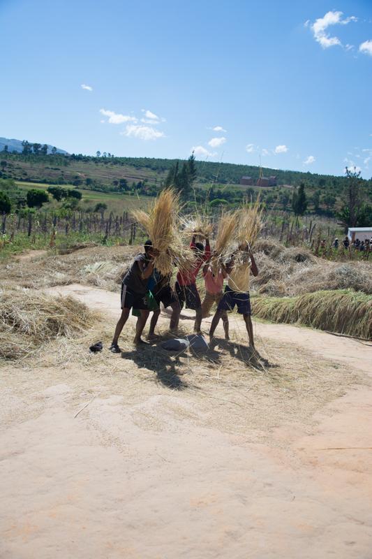 La récolte de riz: étape 6: battage du riz à la main sur une pierre
