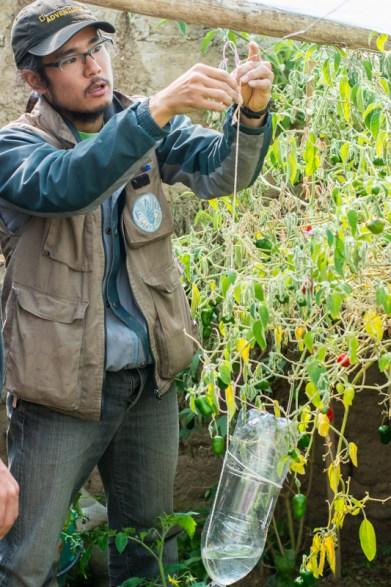Agriculture urbaine à Sucre - un système d'arrosage goutte à goutte avec une bouteille d'eau et de la ficelle - http://paysansdavenir.com/agriculture-urbaine-pourquoi-comment-lexemple-de-la-bolivie/