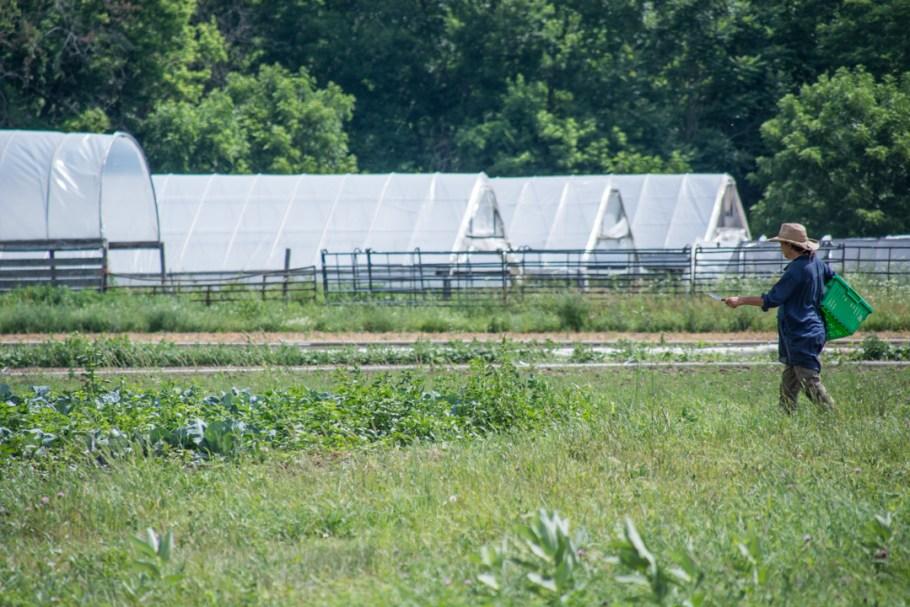 Little Seed Gardens, maraîchage et vente de paniers de légumes : Claudia en route pour la récolte