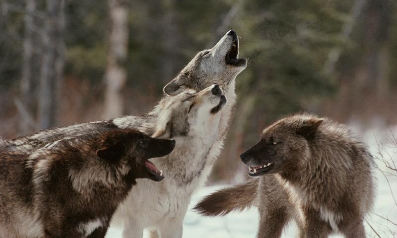 Cuidado con los lobos rapaces
