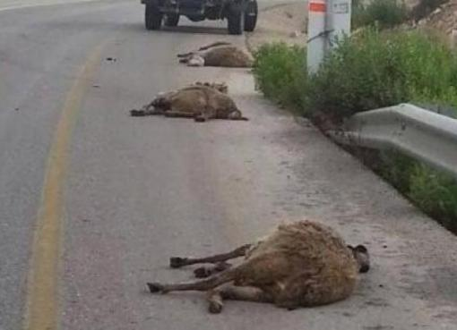 مستوطن يدهس ماشية في الأغوار الشمالية