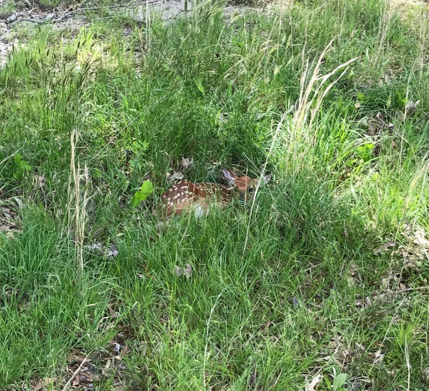 fawn may 8 2019 cropped