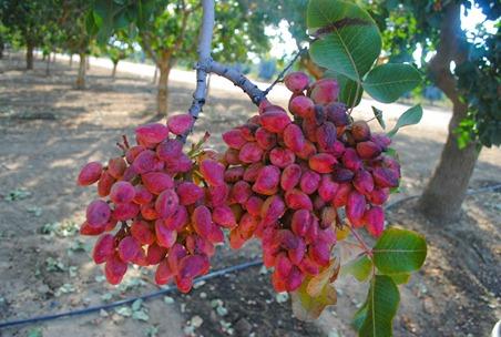 pom orchards 083
