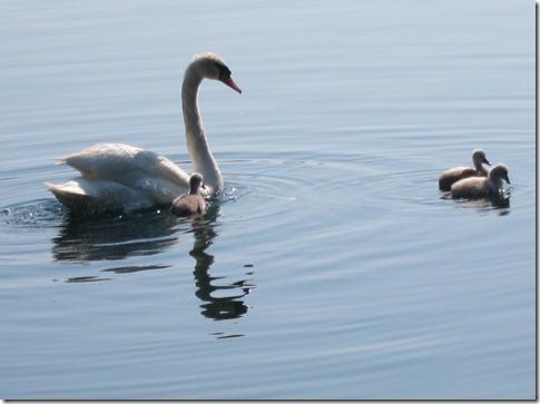 baby swans at lake eola 007