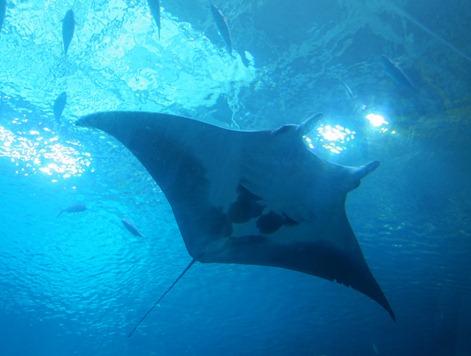 scuba diving with whale sharks georgia aquarium 027