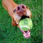 Dog with Tennis Ball