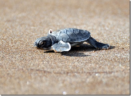 Baby Sea Turtle Galapagos