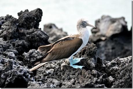 Bloe Footed Booby Galapagos
