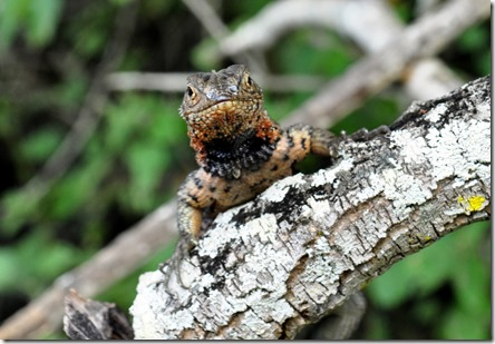 Galapagos Islands Lava Lizard