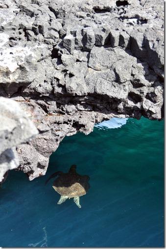 Galapagos Islands Sea Turtle Santiago Island
