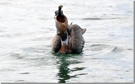 Galapagos Pelican
