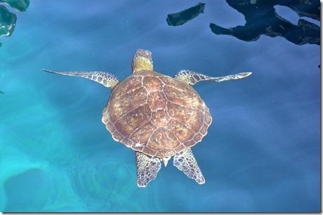 sea turtle galapagos island