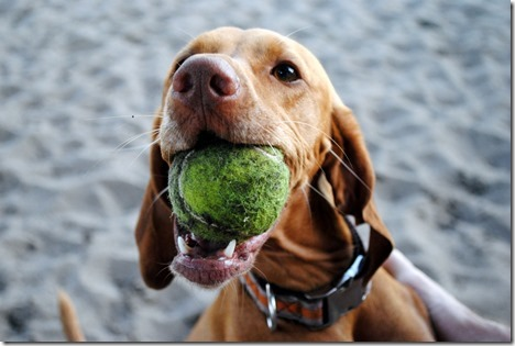 Vizsla with Ball
