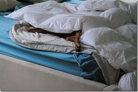Sleeping Vizsla