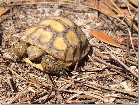 Gopher Tortoise Baby