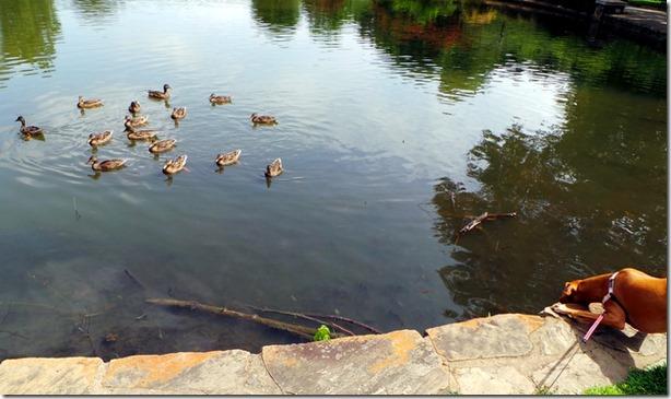 Dog Hunting Ducks