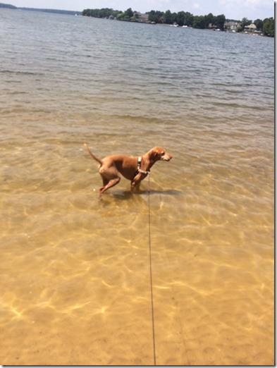 Vizsla in Lake