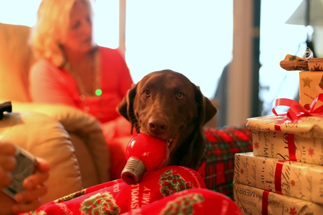 Chocolate Lab with Toy
