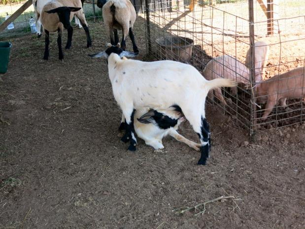 Nursing Goats