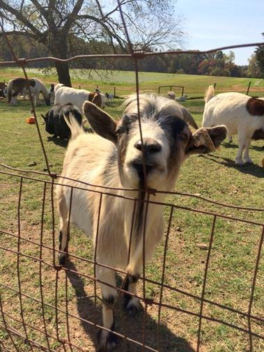 Patterson Farm Goat