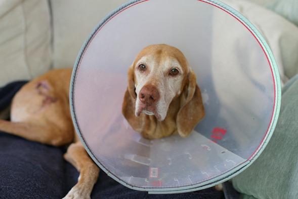 cone dog sdie