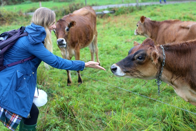 stonyfield dairy cows
