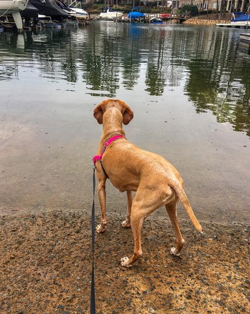 vizsla water dog