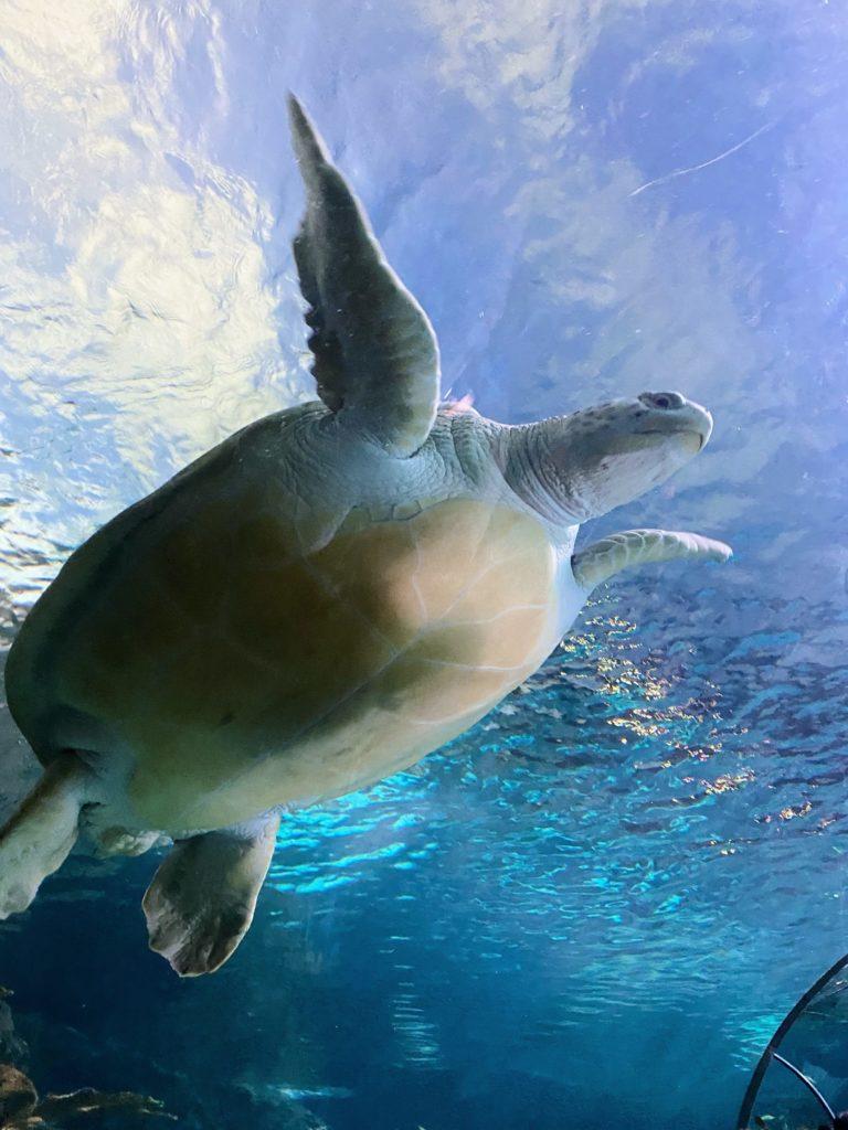sea turtle ripley's aquarium of the smokies