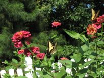 Zinnia With Eastern Tiger Swallowtail (Papilio glaucus)
