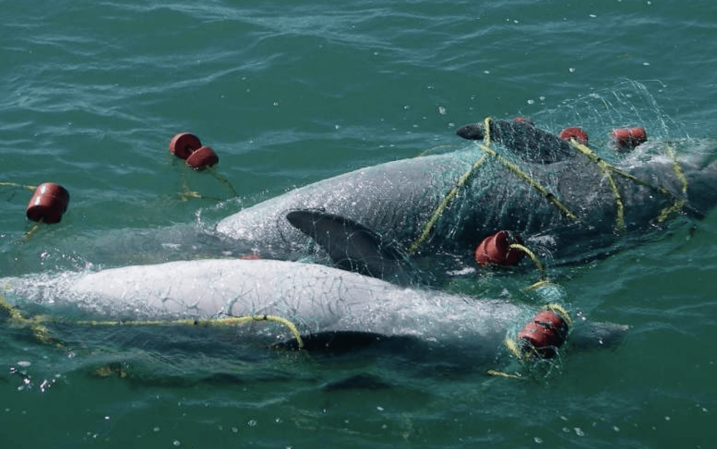 Seaspiracy Exposes-The-Commercial-Fishing-Industry-Dolphin-Killings