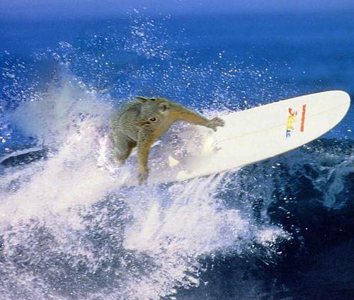 Image result for squirrel surf