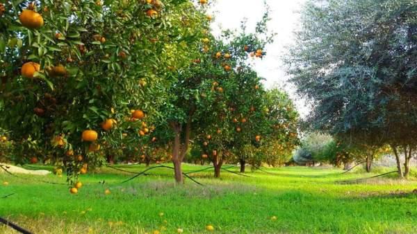 البساتين الحمضية Citrus orchards