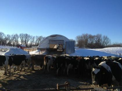 Cows in extremely cold weather via zweberfarms.com