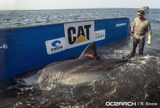 .@Shark_Katharine—the great white shark—is back in the Melbourne, #Florida area