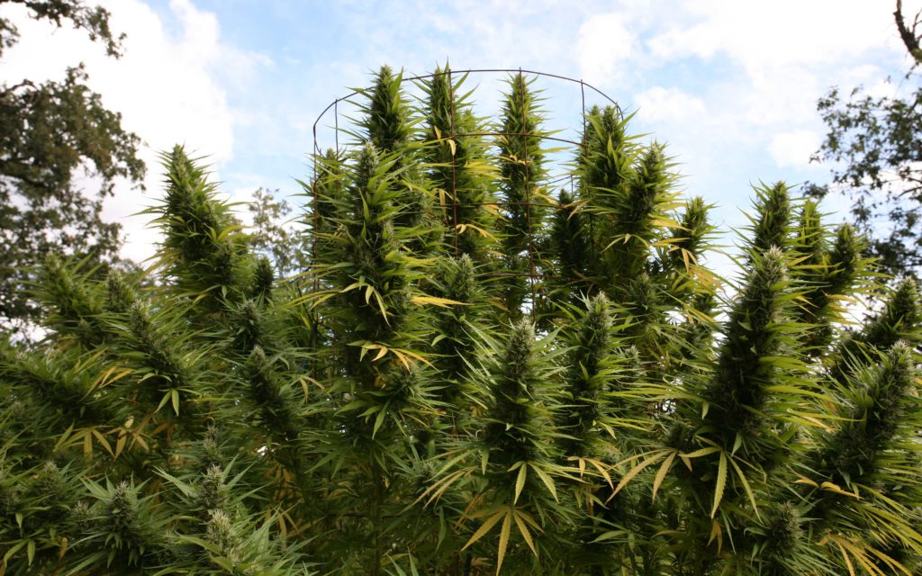 Das Gras! Germany Expects Cannabis-Growing Program to Be Going in 2019.