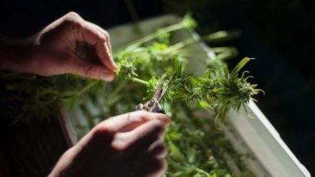 Legalizing marijuana will hurt Canadian alcohol sales, study predicts