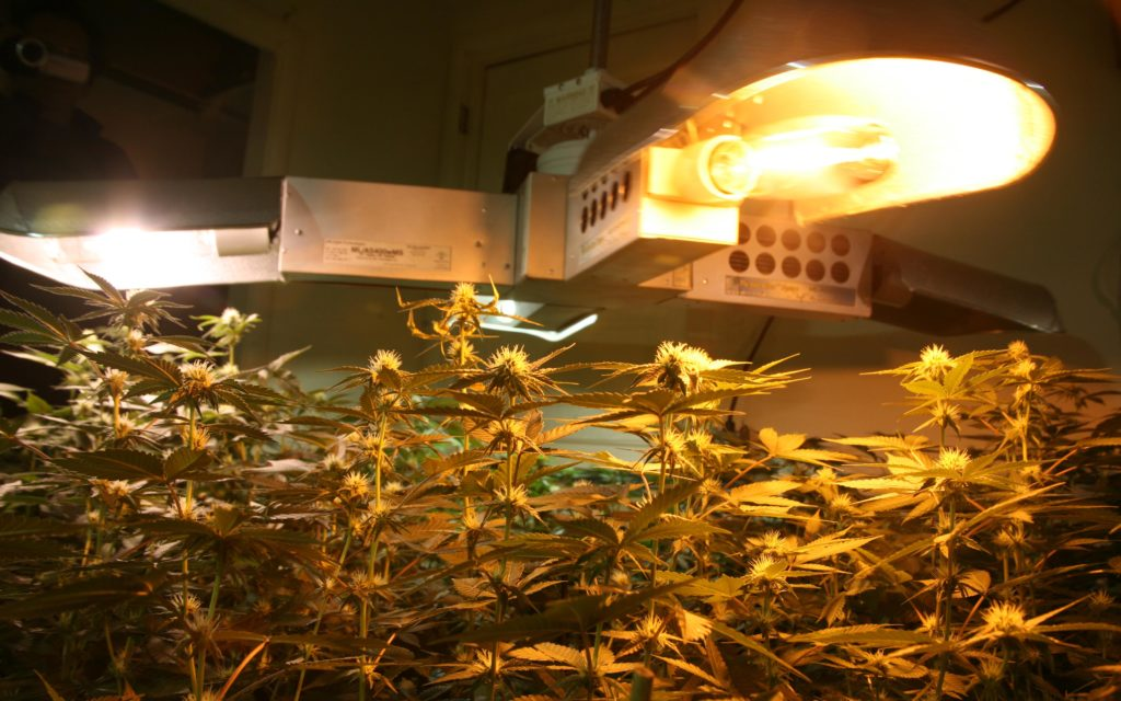 Grow Q&A: How Often Should I Replace My Cannabis Grow-Light Bulbs?