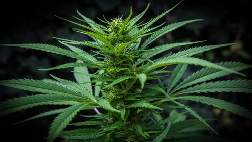 Cali Growers: Mendocino County Approves Medical #Cannabis Cultivation