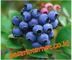 Kandungan bilberry