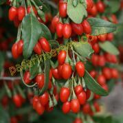 Manfaat goji Berry untuk kesehatan
