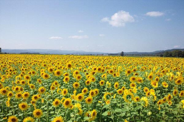 test ツイッターメディア - 北海道にある、名寄市のひまわり♡ 夏になったら見に行きたい♡♡ https://t.co/av6Bt9AaTH