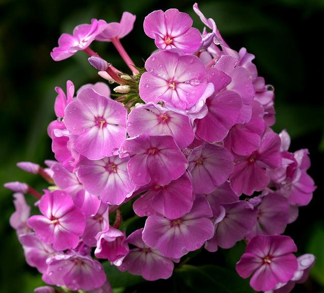 Image result for wild ground phlox site:twitter.com