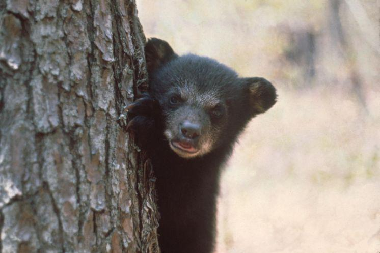 .@POTUS #Florida #blackbear hunt ignores science! #BanTrophyHunting